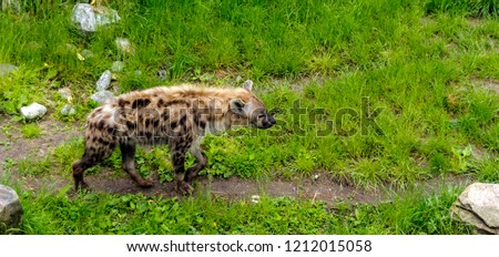 Spotted hyena (Crocuta crocuta), also known as the laughing hyena, walking in profile along green lawn.