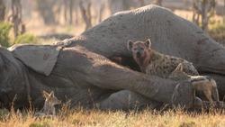 Spotted hyena (Crocuta crocuta) clan and Black-backed jackal feeding on an elephant bull carcass in Savuti, Chobe National Park, Botswana. At times the hyena disappeared inside the elephant carcass!