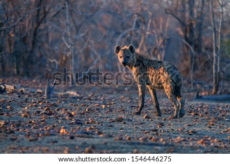 Spotted Hyena, Crocuta crocuta on a rocky plain in early morning light, looking at camera. Close up, low angle wildlife photography. Photo safari adventure on the plains of Mana Pools, Zimbabwe. #1546446275