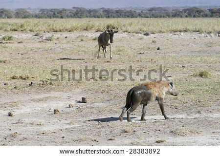 Spotted hyena (crocuta crocuta) run  on the plains of Amboseli National reserve in front of wildebeest, Kenya, East Africa