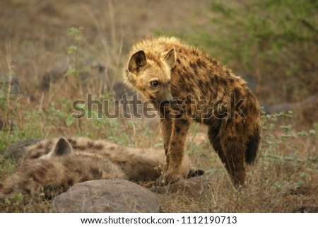 Spotted hyena (Crocuta crocuta) standing on patrol on the rock close her sleeping pride. Dry trees in background.