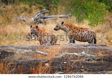 Spotted hyena, Crocuta crocuta, two angry animals with catch. Small hippo in hyenas muzzle. Animal behaviour from nature, wildlife in Kruger National Park, Africa. Hyena in savannah habitat.