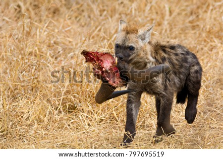 Spotted Hyena cub carrying off the remains of a Wildebeest skull with horns attached