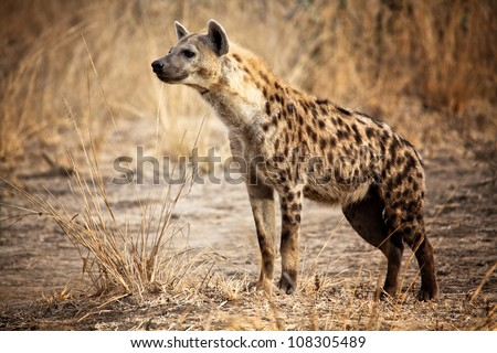 Spotted hyena in luangwa national park zambia