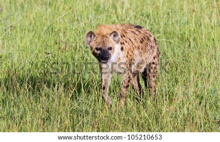 Spotted Hyena on Masai Mara National Park, Kenya
