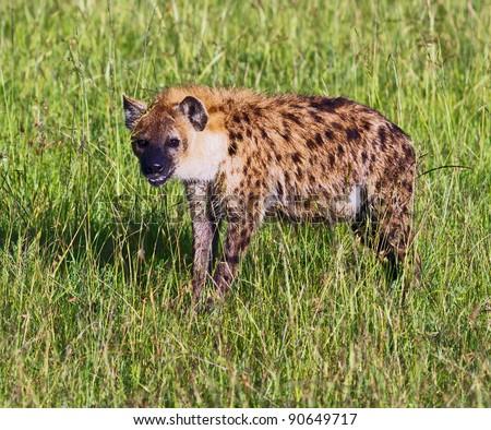 Spotted Hyena on Masai Mara National Reserve - Kenya