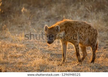 Spotted hyena or laughing hyena. (Crocuta crocuta). Botswana