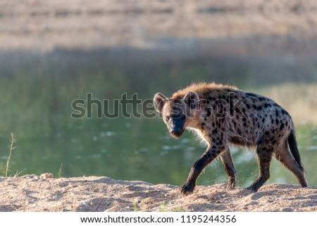 Spotted hyena or laughing hyena (Crocuta crocuta). Limpopo Province. South Africa