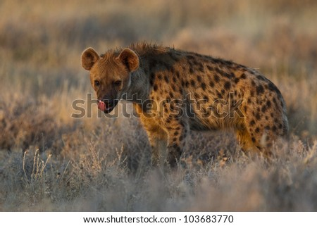 Spotted hyena portrait at first light  (Crocuta crocuta), also known as the laughing hyena or tiger wolf - stock photo