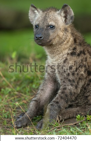 Spotted Hyena pup sitting