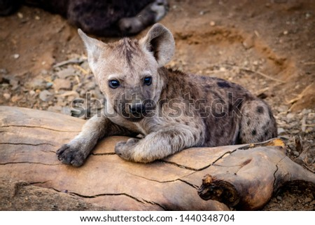 Spotted Hyena puppies at hide with mother