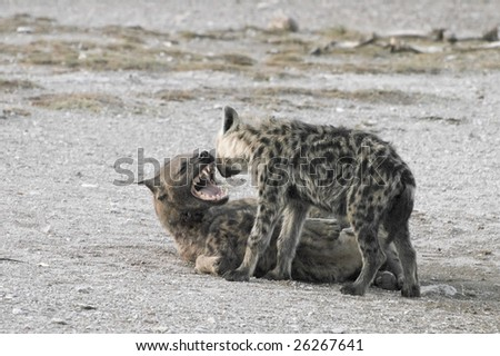 Spotted hyena roar on her cub coming while she suckle second pup