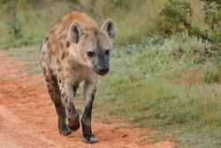 Spotted Hyena running