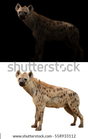 spotted hyena standing in the dark and spotted hyena isolated