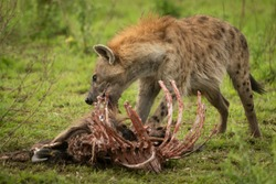 Spotted hyena stands gnawing ribcage of carcase