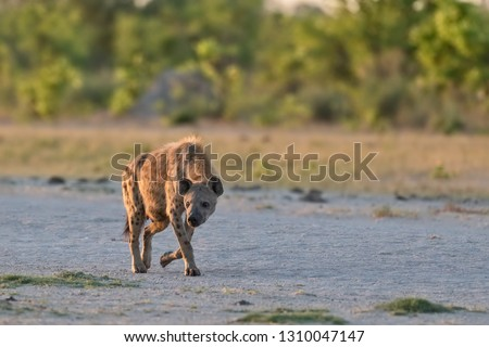 spotted hyena walking in the savanna, hyena walking in savanna with sun light in her fur