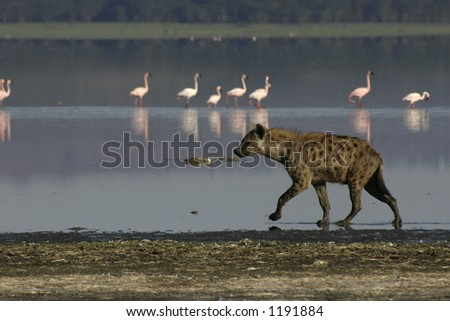 spotted hyena walking on lake shore