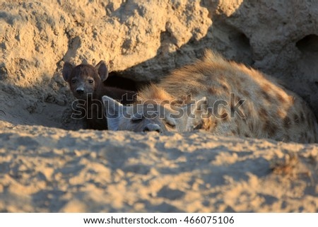 Spotted Hyena with baby #466075106