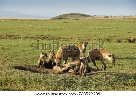 Spotted hyenas (adults and juveniles) at den, Masai Mara Game Reserve, Kenya