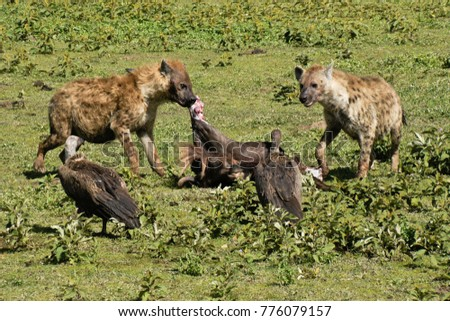 Spotted hyenas and white-backed vultures feeding at wildebeest kill, Ngorongoro Conservation Area, Tanzania