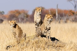Spotted hyenas and wild dogs fight