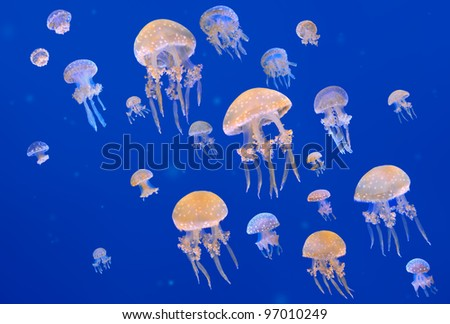 Spotted jellyfishes. Phyllorhiza punctata is a species of jellyfish, also known as the Australian spotted jellyfish or the White-spotted jellyfish. - stock photo