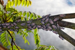 Spotted Lanternfly (lycorma delicatula) infestations have caused Pennsylvania's Department of Agriculture to issue a quarantine in certain counties to reduce the spread of the invasive species.