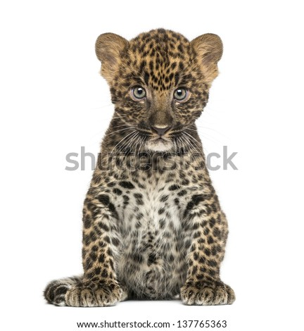 Spotted Leopard cub sitting - Panthera pardus, 7 weeks old, isolated on white #137765363