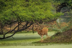 Spotted or Chital or Cheetal or Chital deer or axis axis in natural green background at keoladeo national park or bharatpur bird sanctuary rajasthan india