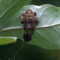 spotted orb weaver spider wrapping its prey