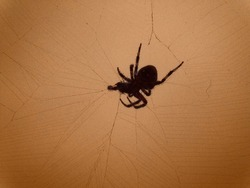 spotted orbweaver spider wrapping her prey in silk. spider caught a fly in large web