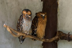 spotted owl (Strix occidentalis) and barred eagle-owl (Bubo sumatranus) resting on a branch, shooted at Kuala Lumpur bird park.