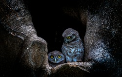 Spotted owlet (Athene brama) is a small owl which breeds in tropical Asia, pair living in the tree hole in nature