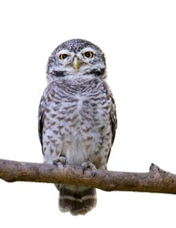 Spotted owlet on branch on white background