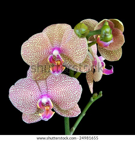 Spotted Phalaenopsis Orchid - stock photo