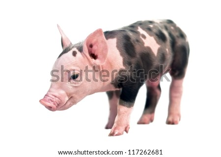 spotted pig isolated on white background