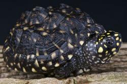 Spotted pond turtle / Geoclemys hamiltonii