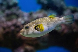 Spotted puffer fish in an aquarium underwater