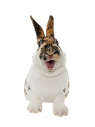 Spotted rabbit smiles with open mouth and teeth isolated on a white background.