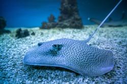 spotted stingray fish in aquarium