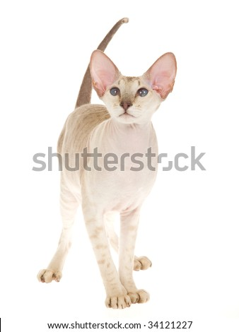Spotted tabby Peterbald hairless cat on white background