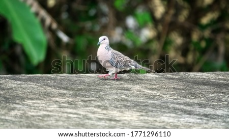 Spotted turtle doves (Streptopelia chinensis) in winter. (Spilopelia chinensis ceylonensis) Sri Lanka bird subspecies. Sri Lanka sedentary birds Zdjęcia stock ©