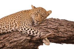 Spotty leopard lying on branch looking at camera. White background.