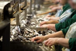 sprat processing factory, cannery plant, preparation of fish
