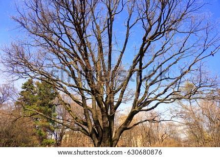 sprawling old oak tree