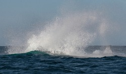Spray after whale jump. Humpback whale jumping out of the water. The whale is spraying water.  South Africa.