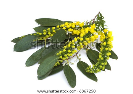 Spray of Mahonia on Eucalyptus leaves with olive coloured leaves and tiny white flowers