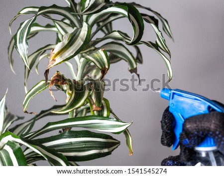Spraying a diseased plant. Houseplant diseases Stockfoto ©