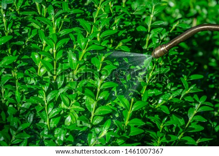 Spraying green boxwood bushes against box tree moth. Pest control. Processing of Buxus sempervirens bush by pesticide in garden, sprayed with water droplets from long tube #1461007367