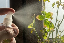 spraying rose in the pot with pesticides, hand sprayer, Rose Diseases, fungicide spray